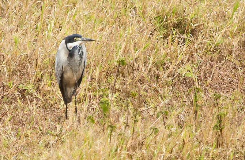 large_Black_Headed_Heron_61.jpg
