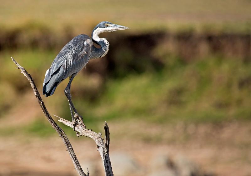 large_Black_Headed_Heron_72.jpg