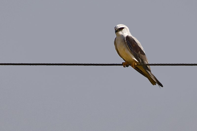 large_Black_Shouldered_Kite_101.jpg