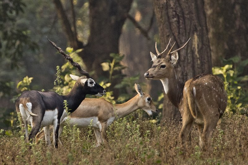 large_Blackbuck_..e_Cheetal_1.jpg
