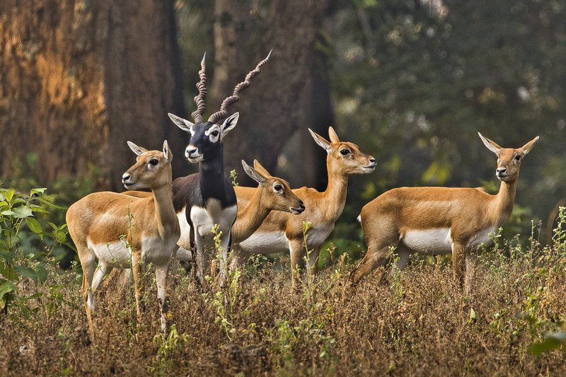 large_Blackbuck_3.jpg