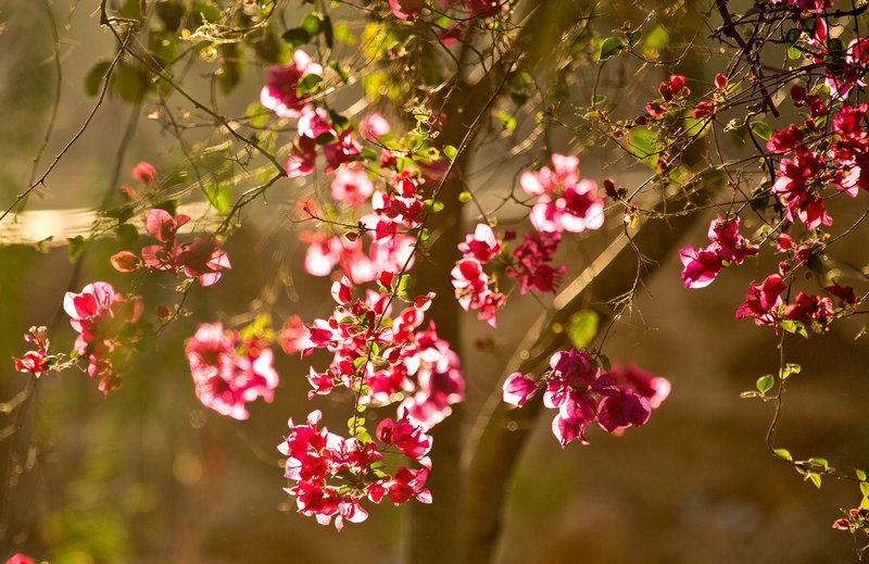 large_Bougainvilea_1.jpg