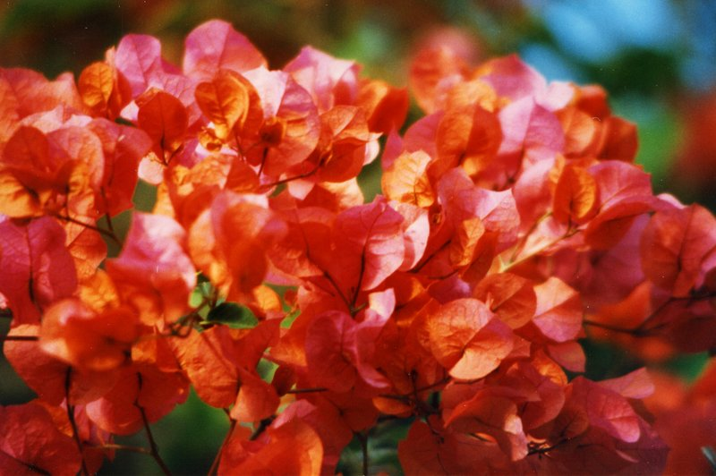 large_Bougainvilea__023.jpg