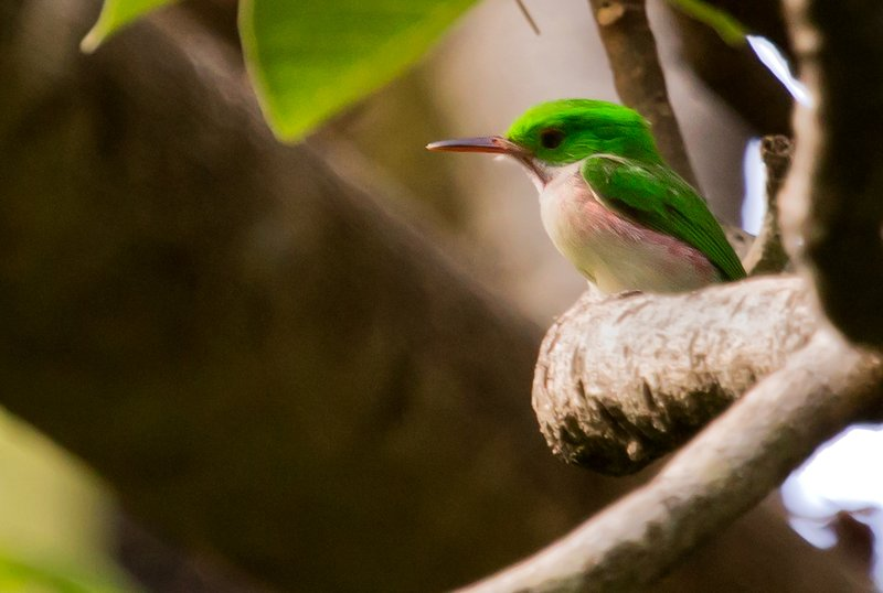 large_Broad_Billed_Tody_3.jpg