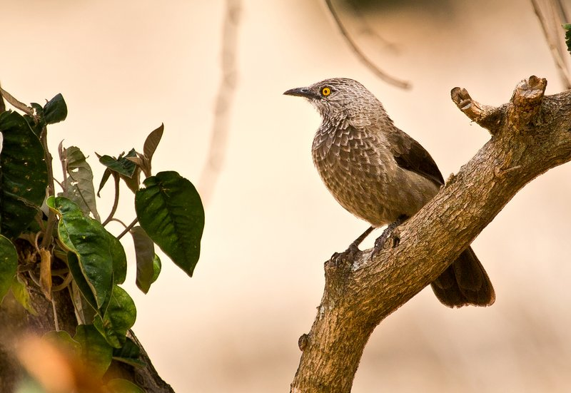 large_Brown_Babbler_2.jpg