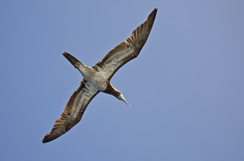 large_Brown_Booby_12.jpg