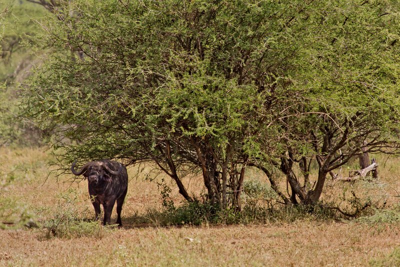large_Buffalo__Cape_10-52.jpg