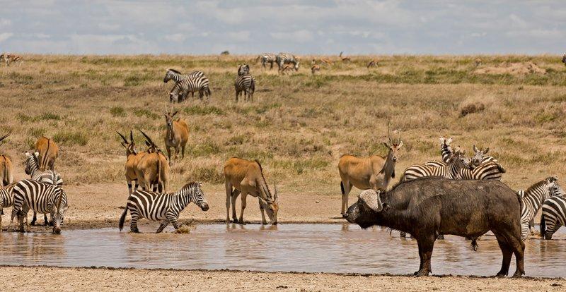 large_Buffalo__Zebra__Eland_1.jpg