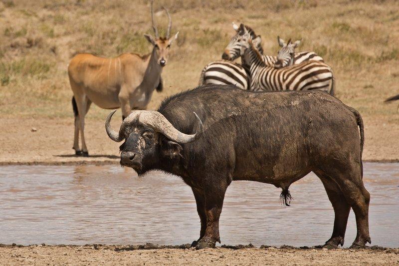 large_Buffalo__Zebra__Eland_2.jpg