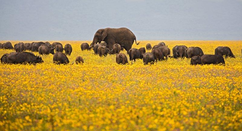 large_Buffalo_and_Elephants_1.jpg