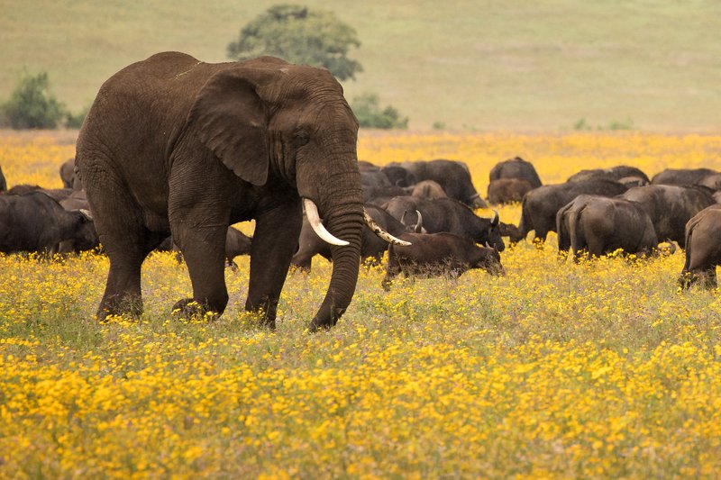 large_Buffalo_and_Elephants_3.jpg