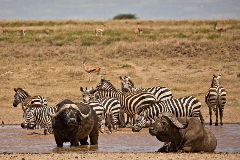 large_Buffalo_and_Zebra_1.jpg