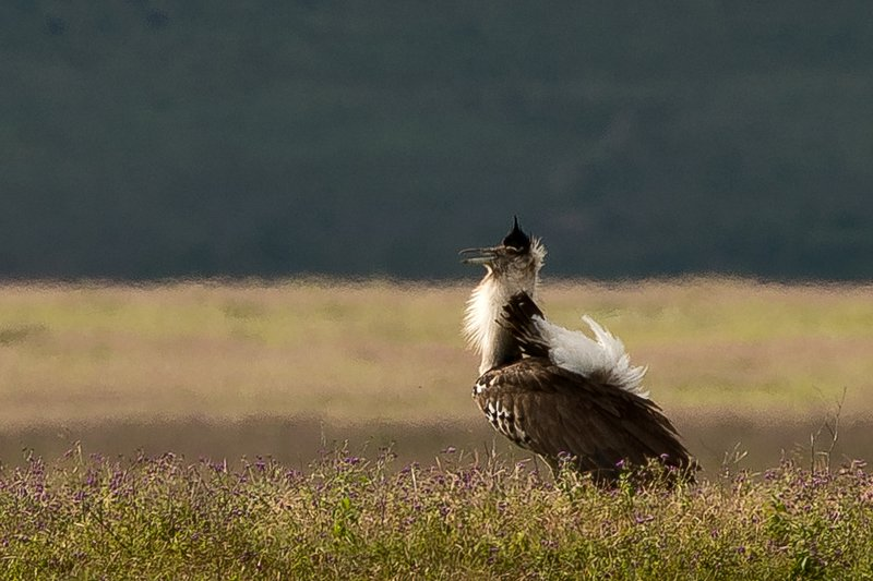 large_Bustard__K.._Display__2.jpg