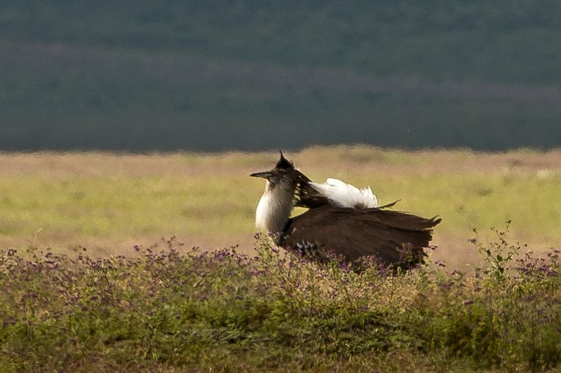 large_Bustard__K.._Display__3.jpg