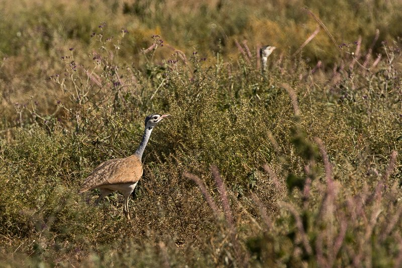 large_Bustard__White_Bellied_52.jpg
