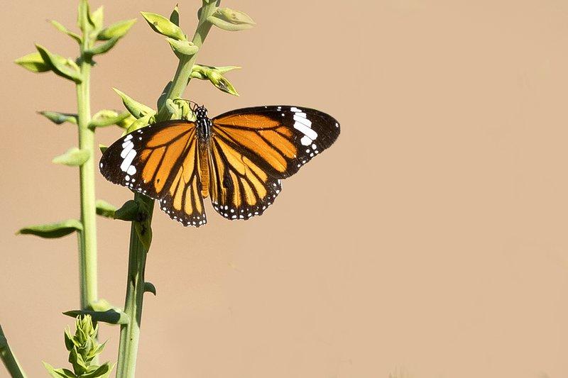 large_Butterfly_101.jpg
