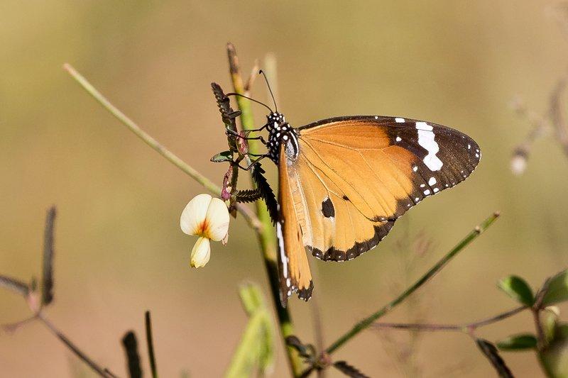 large_Butterfly_102.jpg
