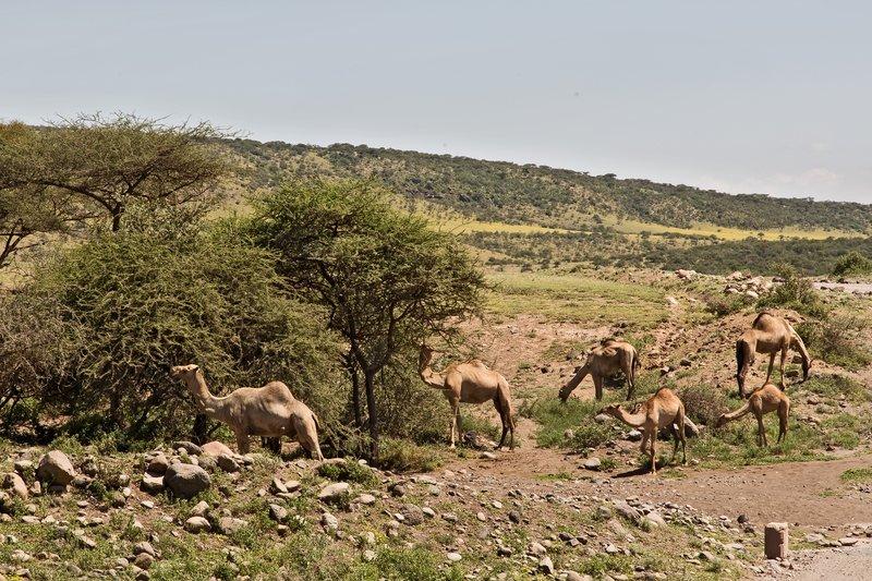 large_Camels_7-1.jpg