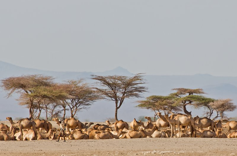 large_Camels_at_..orth_Horr_7.jpg
