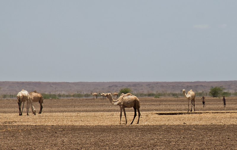 large_Camels_at_Kalacha_Dida_12.jpg