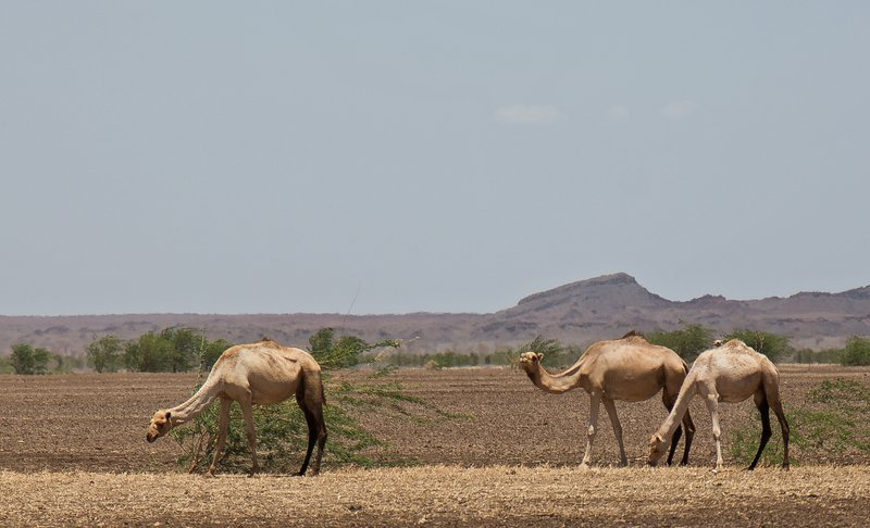 large_Camels_at_Kalacha_Dida_16.jpg