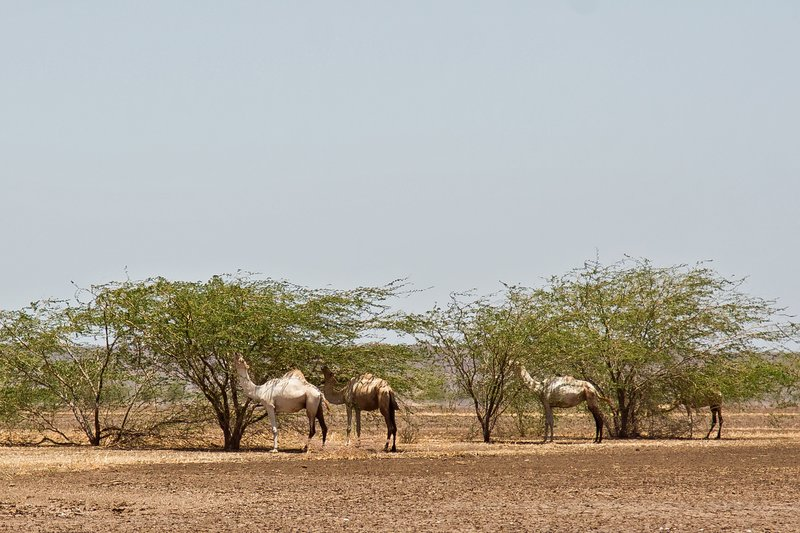 large_Camels_at_Kalacha_Dida_2.jpg