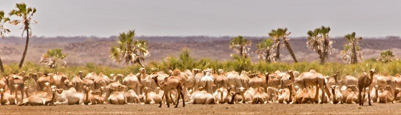 large_Camels_at_Oasis_22.jpg
