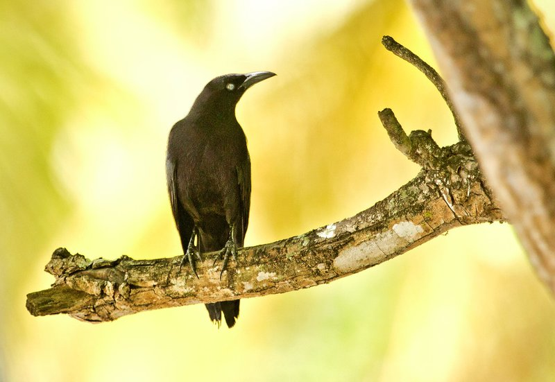 large_Carib_Grackle_2.jpg