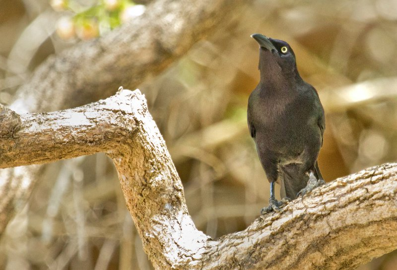 large_Carib_Grackle_62.jpg