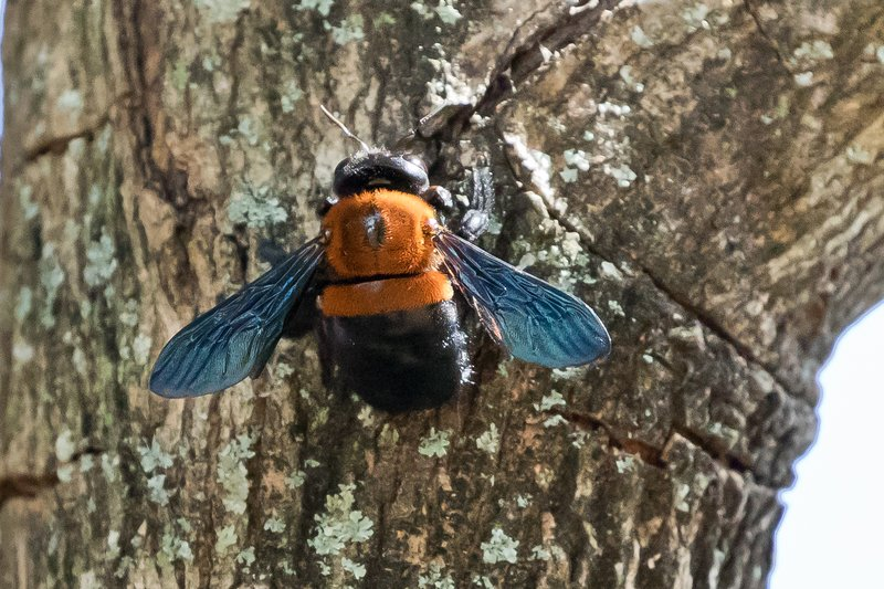 large_Carpenter_Bee_1.jpg
