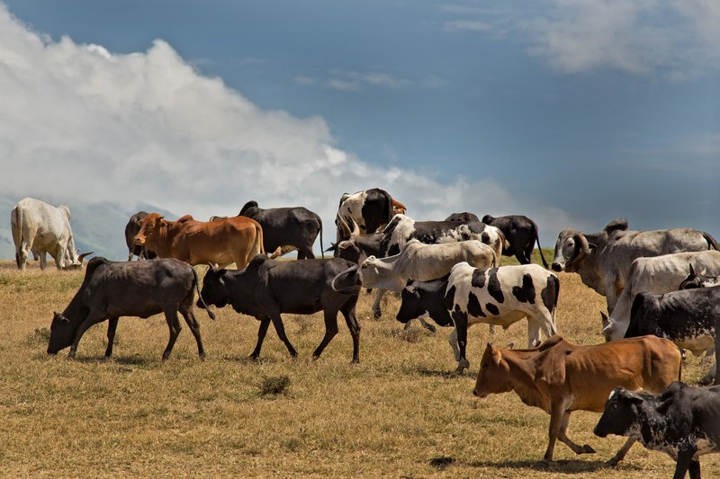 large_Cattle_12-3.jpg