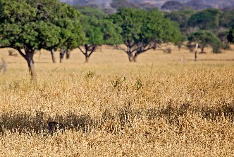 large_Cheetah_1.jpg