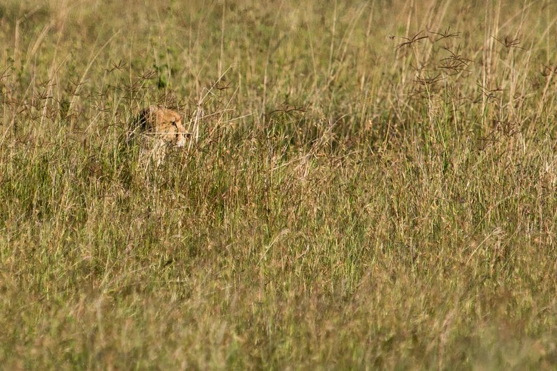 large_Cheetah_11-1.jpg