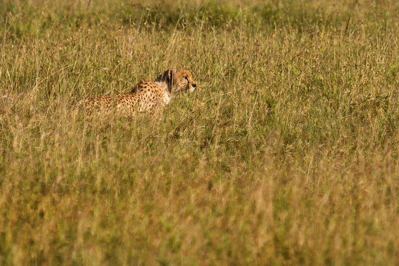 large_Cheetah_11-4.jpg
