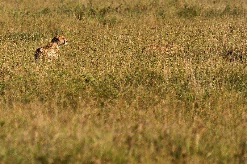 large_Cheetah_11-6.jpg