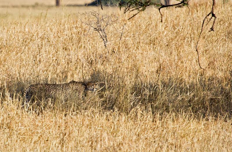 large_Cheetah_2.jpg
