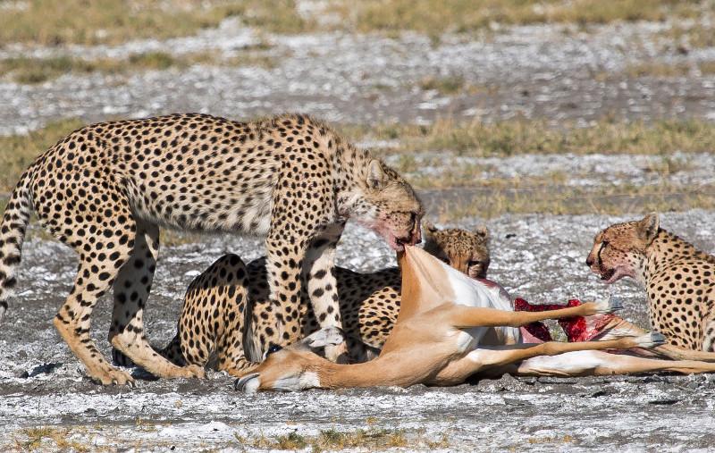 large_Cheetah_4.jpg