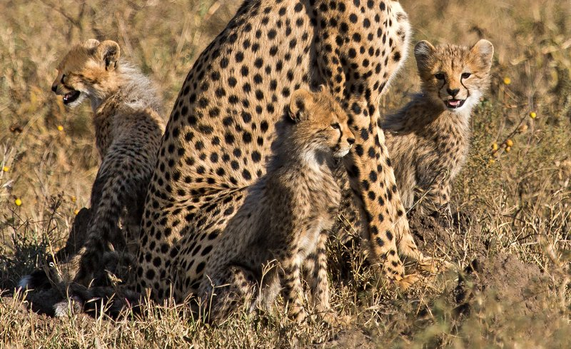 large_Cheetah_8-101_Cropped.jpg