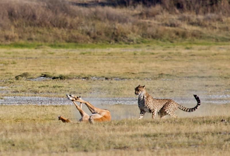 large_Cheetah_CF_19.jpg