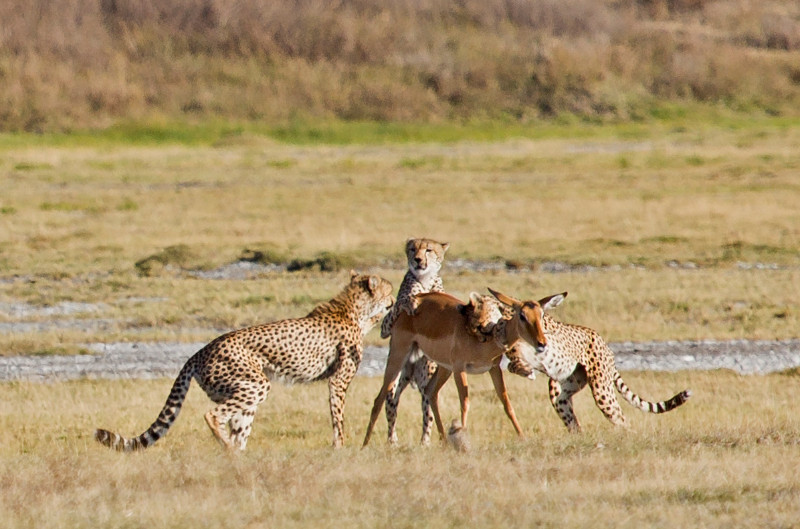 large_Cheetah_CF_24.jpg