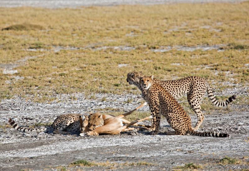 large_Cheetah_CF_25.jpg