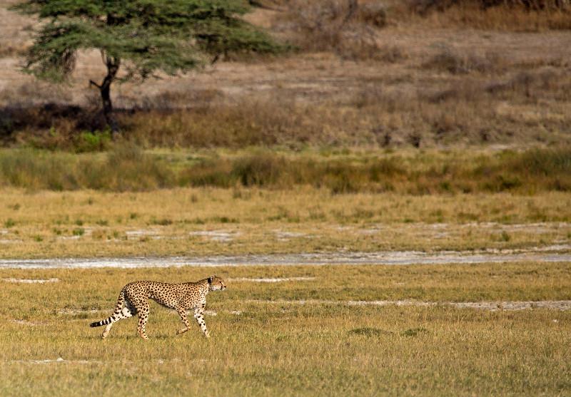 large_Cheetah_CF_3.jpg