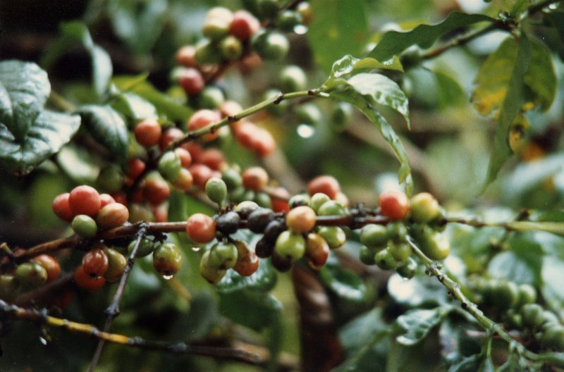 large_Coffee_Plantation__034.jpg