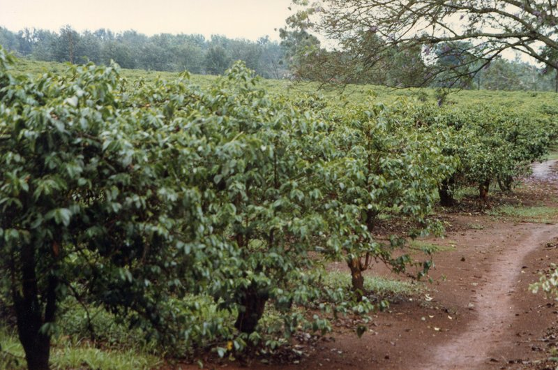 large_Coffee_Plantation__035.jpg