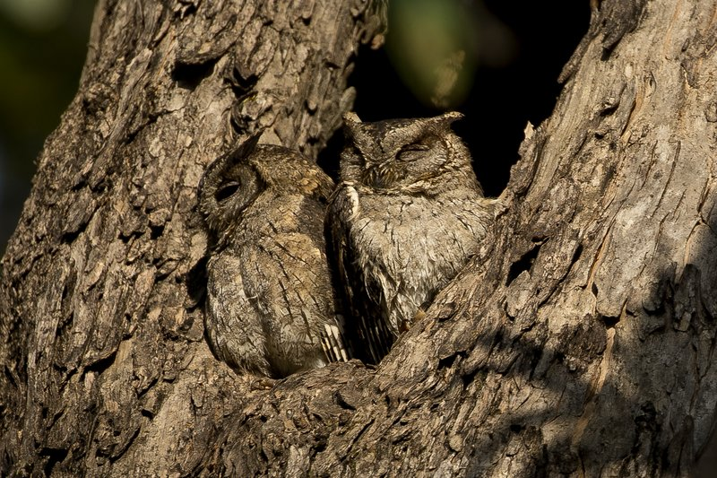 large_Collared_Scops_Owl_21.jpg