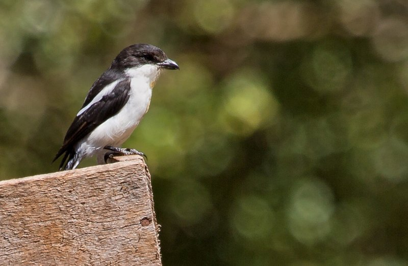 large_Common_Fiscal_Shrike_22.jpg