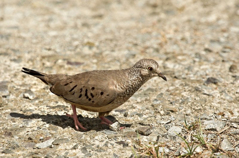 large_Common_Ground_Dove_3.jpg