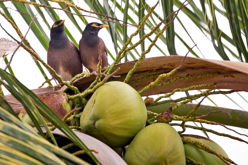 large_Common_Myna_Birds_1.jpg