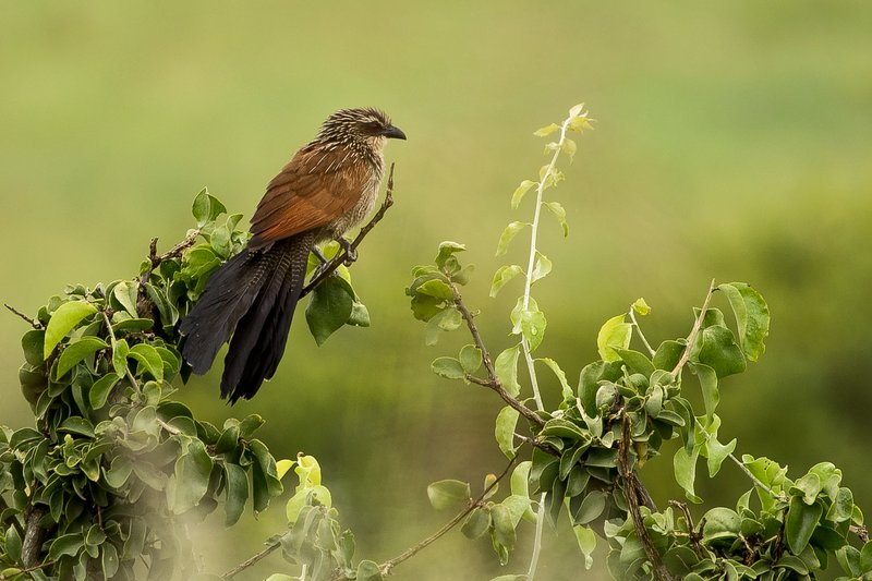 large_Coucal_White_Browed_1.jpg
