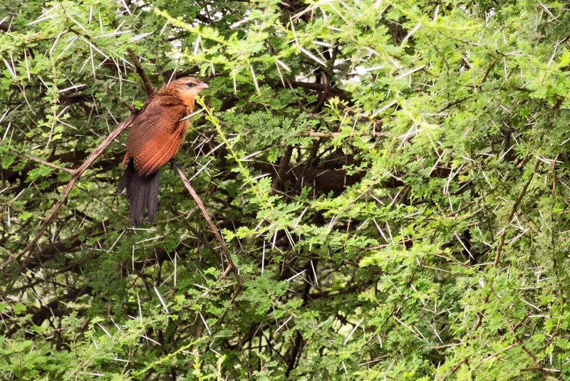 large_Coucal__Senegal_5-1.jpg